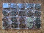 """Fossilien - Ammoniten-Paare (10er-Pack!) """"Cleoniceras besairiei"""""""